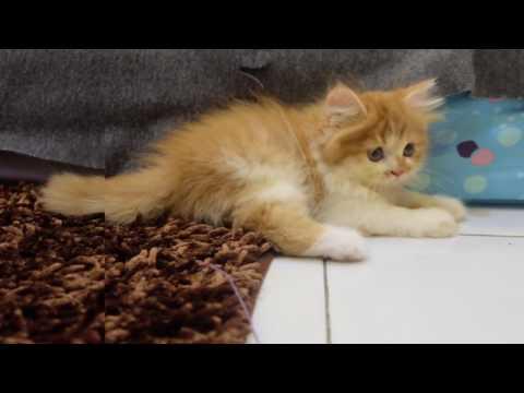 kitten-persia-flat-nose-|-kucing-persia-flat-nose-long-hair