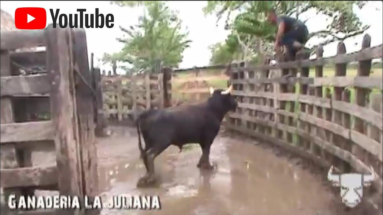 El Toro Bravo En La Dehesa Labores De Campo Youtube