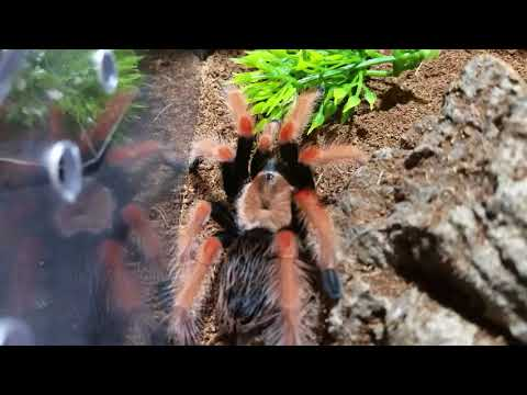 Brachypelma boehmei Finally molted. New prints and ankle update