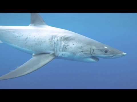 Great White Shark warning behavior - Gill Flaring