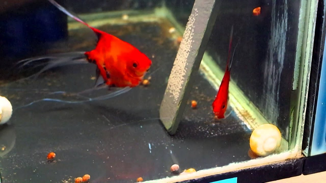 Red Angelfish Pictures >> List Of Marine Aquarium Fish Species ...
