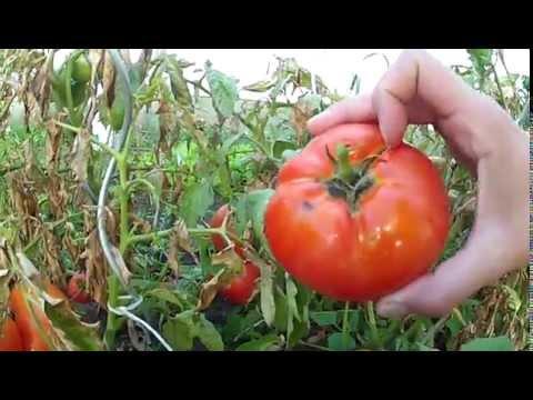 MiHuerto Chileno - Cosecha De Tomates (Feb 2015)
