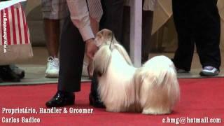 Show Dog Shih Tzu - Brum Abdallas Harry Potter N Shih Tzu Manchester Kc Setembro 2011