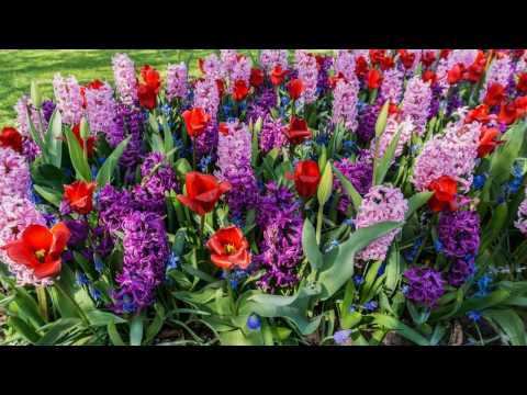 HOLLAND-LISSE-KEUKENHOF FLOWER EXHIBITION - ERNESTO CORTAZAR - EL DIA QUE MI QUIERAS