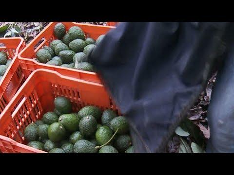 Mexican avocado exports hang in the balance of NAFTA talks