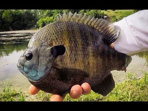 SIGHT fishing CLEAR water for HUGE BLUEGILLS!