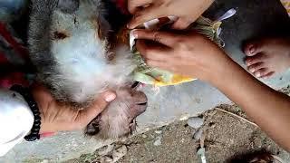 Pertolongan Pertama pada Monyet (first Aids to Mongky )