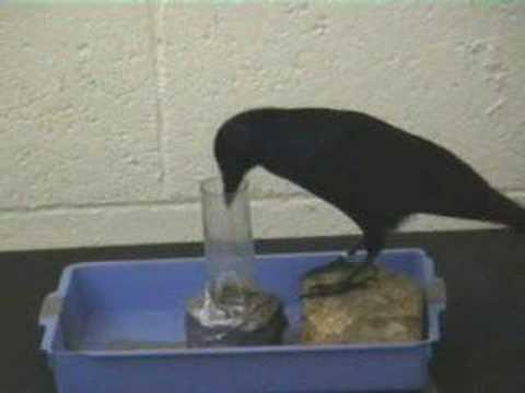 Corvo demonstra inteligência criando e usando ferramenta