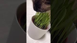 초식동물 - 귀리 싹 먹는 고양이