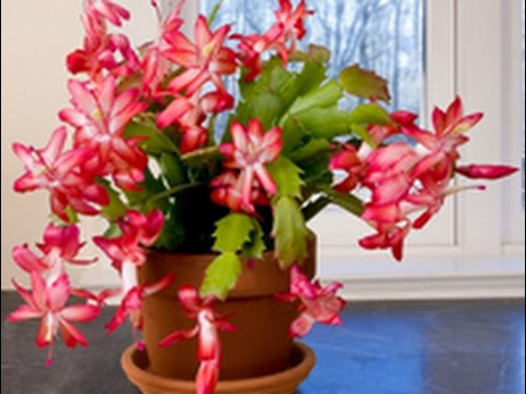 Christmas Cactus.Care Culture Of Christmas Cactus