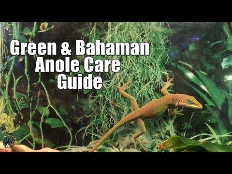 How to Take Care of Pet Green and Bahaman Anoles! 🦎💓