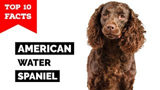 American Water Spaniel  Top 10 Facts