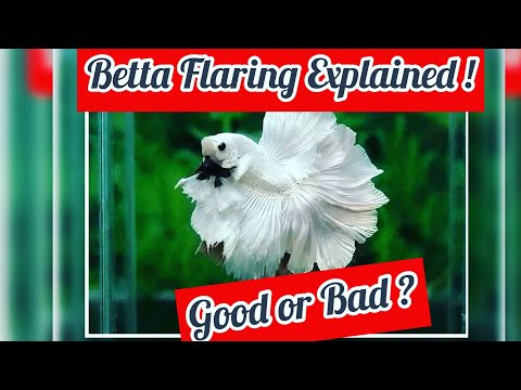 BETTA FLARING EXPLAINED; Myths, Facts, Agression & Care