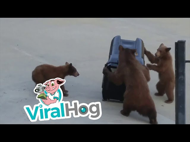 Bears Vs. Bear-Proof Garbage Can