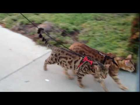 Cheeto & Kona, two leash trained bengals on a walk video