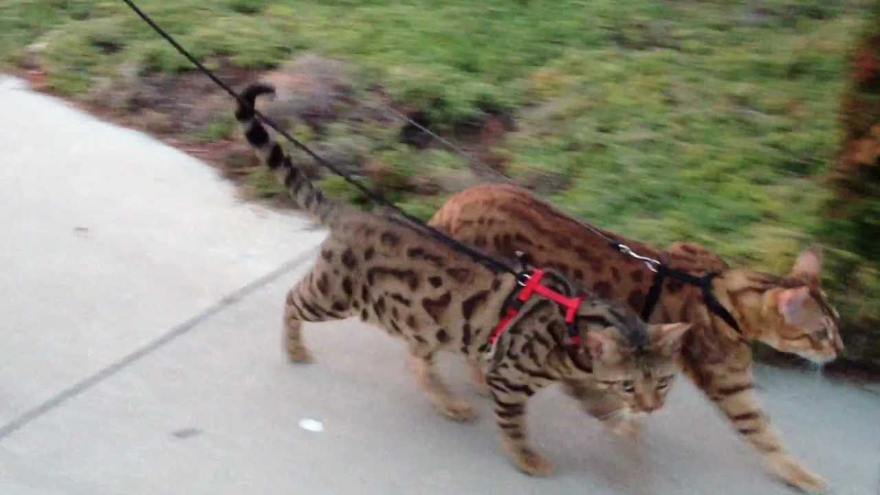 Cheeto & Kona, two leash trained bengals on a walk video - YouTube