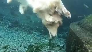 golden retriever dog's a pro at brick diving - 1001139
