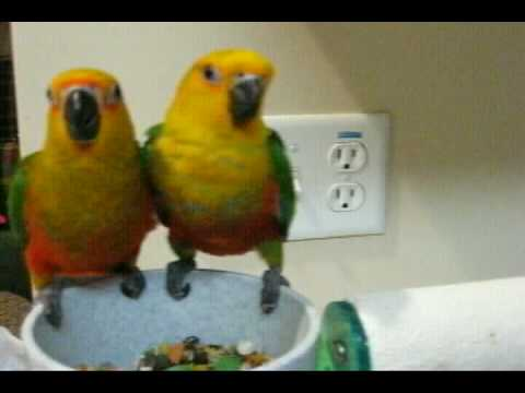 jenday conure babies and white bellied caique playing