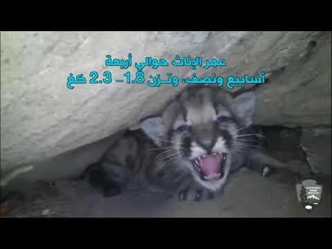 بي_بي_سي_ترندينغ | هل شاهدتم من قبل صغار الاسد الجبلي؟  - نشر قبل 31 دقيقة
