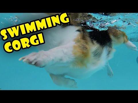 CORGI'S SHORT LEGS SWIMMING || UNDERWATER VIEW