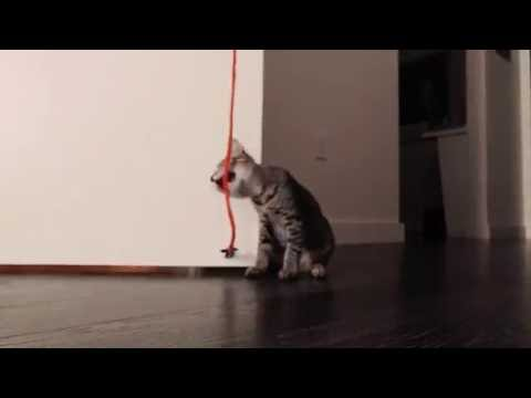 Bengal mix kitten captivated by string