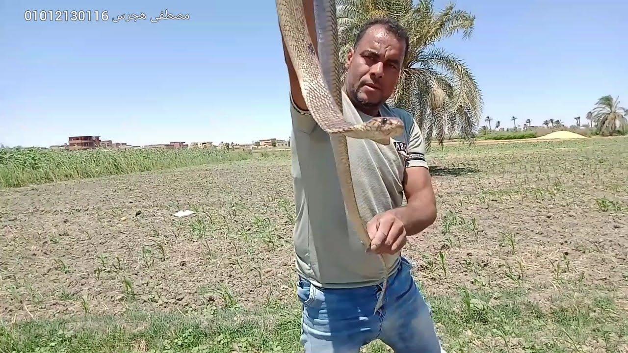 صيد كوبرا من مكان غير متوقع وبطريقة ذكية جدا مع مصطفى هجرس