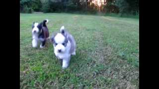 Akc Siberian Husky Puppies.. Www.mysiberianhusky.org