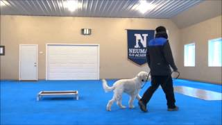 Rumble (goldendoodle) Boot Camp Training Video