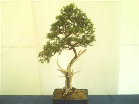 Exposicion de bonsai en el jardin japones youtube for Bonsai de jardin