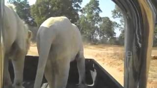 lion jumps in car