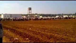chevel de tbourid kentra maroc