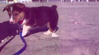 Welsh Corgi Puppy Jumps!