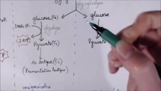 Utilisation de l'ATP par la cellule musculaire TS spé SVT
