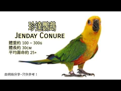 珍達太陽鸚鵡 ~ Jenday Conure