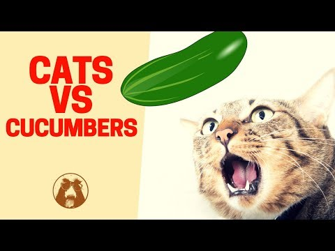 Cats 🐱 And Cucumbers 🥒 Video - Cats Reacting To Cucumbers