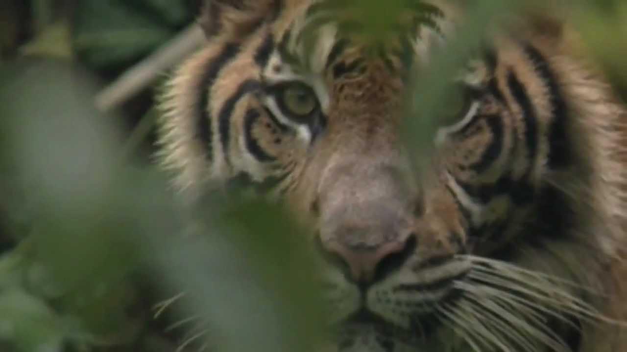 Top Protégeons les forêts pluviales indonésiennes et le tigre de  MQ06