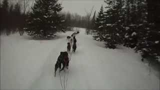 How To Hook Up And Train 16 Sprint Sled Dogs | Windigo Kennels & Outfitters / Endurance Kennels