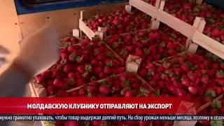 Молдавскую клубнику отправляют на экспорт