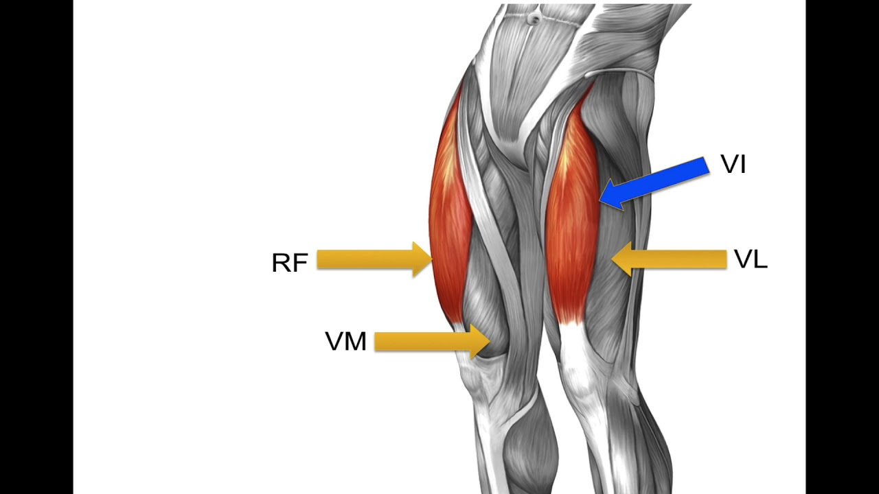 What are the quadriceps muscles? - YouTube