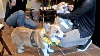 Goro & Roku meet fans in the coffee shop / カフェでファンサービスするゴローさんとロクさん 20150902 Goro@Welsh corgi puppy