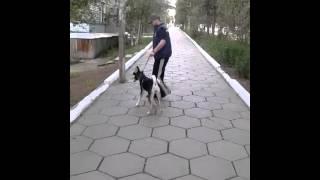 Лайка учится маршировать