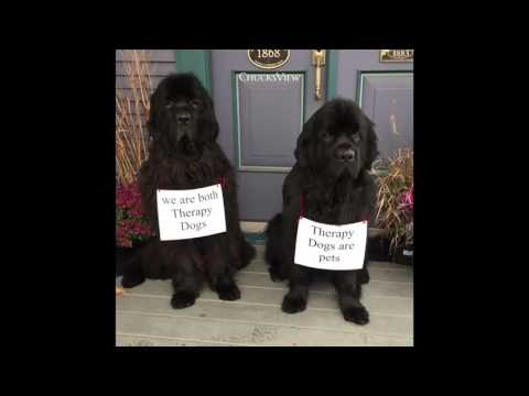 Newfoundland Dogs Kenai & Castle Therapy Dogs