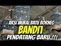 Murai Batu Borneo Bandit Pendatang Baru  Mp3 - Mp4 Download