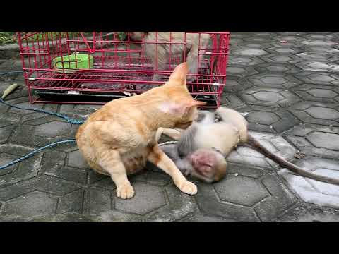 Baby monkey finally biten by the cat