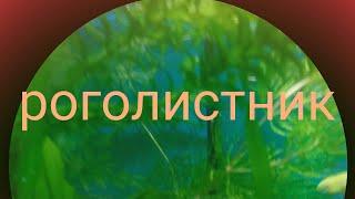 видео Роголистник: виды, содержание