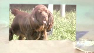 Sussex Spaniel: http://obedient-dog.net/dog-breeds/sussex-training-...