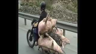 Vietnam Bike Pigs