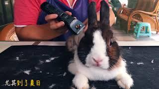 兔寶夏日剃毛
