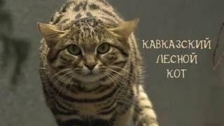 Кошки Красной Книги России (1 часть)