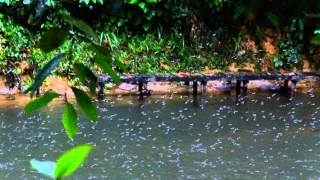 雨林的清早一場大雨, 本來要取消賞蜉蝣的行程, 沒想到夥伴發現只要輕輕...